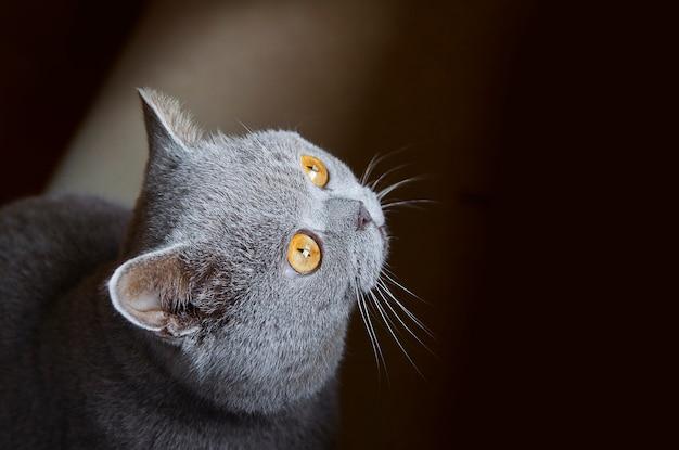 Gato cinzento com olhos amarelos em fundo preto
