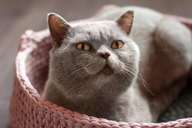 Gato cinzento com olhos amarelos encontra-se em uma cama de gato