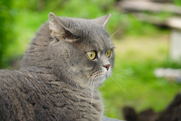 Gato cinzento de raça britânica no jardim do lado de fora.