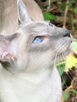 Gato cinzento de retrato com olhos azuis no exterior