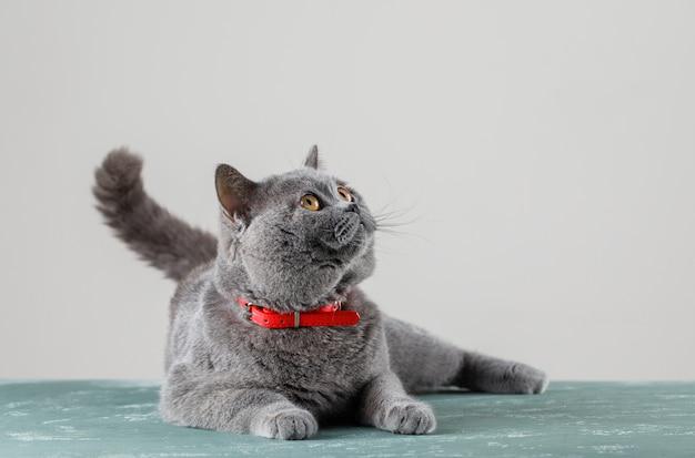 Gato cinzento deitado e olhando para cima