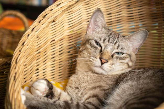 Gato cinzento deitado em uma cesta de vime