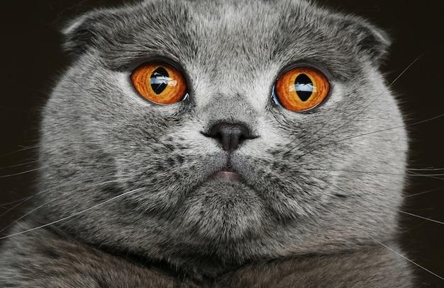 Gato cinzento dobra escocesa