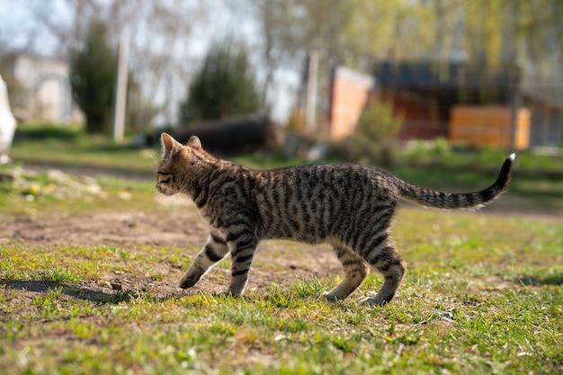 Gato cinzento domesticado brincando em um gramado em um lindo dia