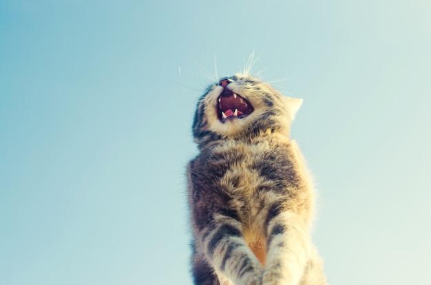 Gato cinzento dos sorrisos engraçados felizes em um fundo azul na luz solar. gato no céu.