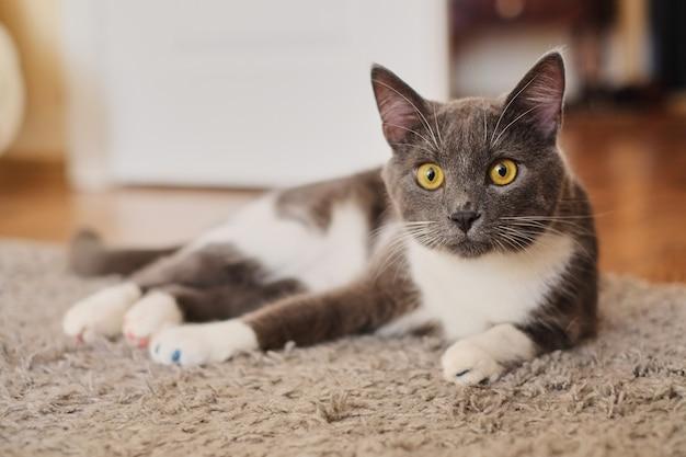 Gato cinzento e branco placid que encontra-se no assoalho que espera para ser alimentado e olhando curiosamente no