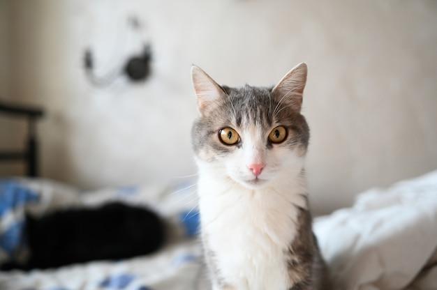 Gato cinzento e branco surpreendido engraçado com olhos amarelos
