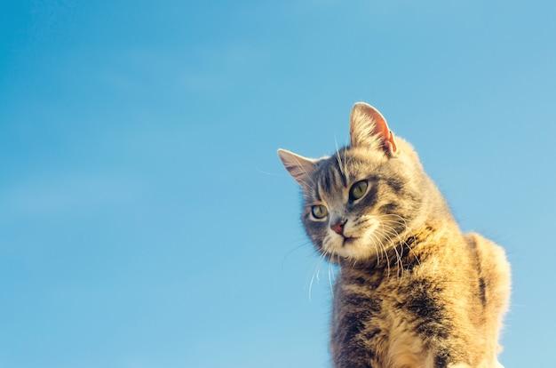 Gato cinzento em um fundo azul na luz solar. gato no céu. um animal de estimação. gatinho lindo.