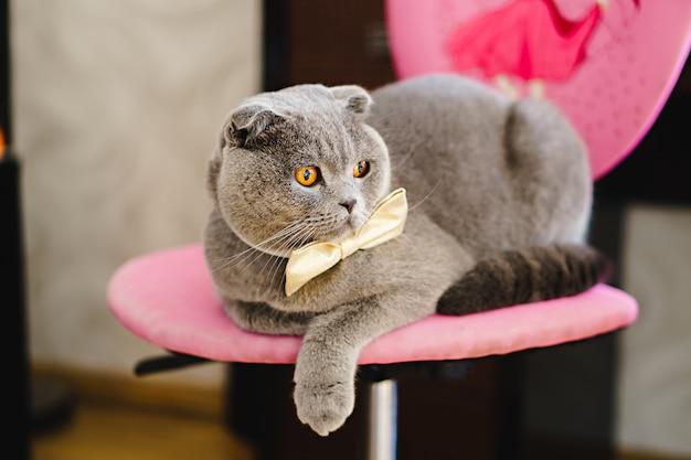 Gato cinzento em uma gravata borboleta encontra-se na cadeira