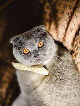 Gato cinzento em uma gravata borboleta encontra-se no sofá