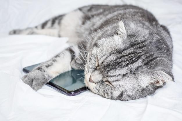 Gato cinzento engraçado da dobra escocesa que dorme em um abraço com um smartphone em uma folha branca.
