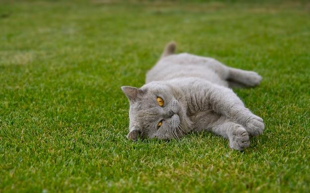 Gato cinzento feliz na grama em um dia de verão