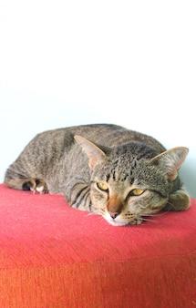Gato cinzento gordinho estava deitado na cadeira rosa