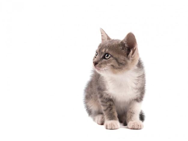 Gato cinzento isolado em um espaço em branco. retrato de um gatinho fofo