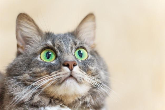 Gato cinzento perto com grandes olhos verdes olha para a câmera