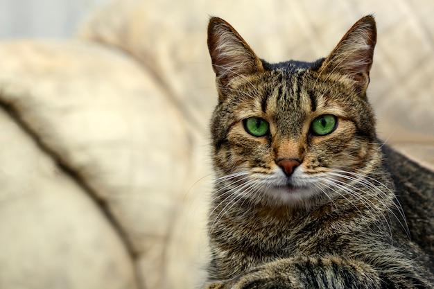 Gato cinzento preto com olhos verdes, olhando para a câmera