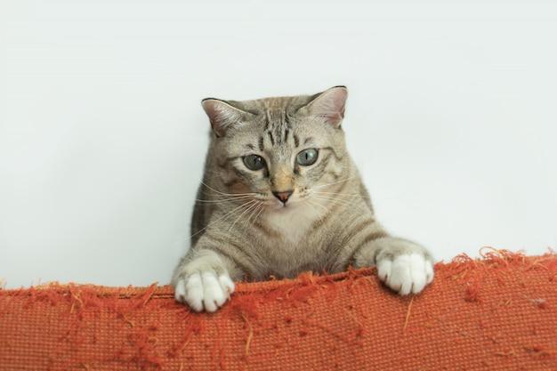 Gato cinzento que joga ao lado do sofá.