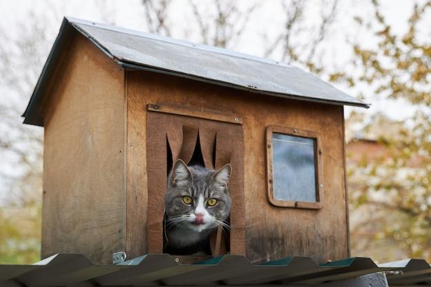 Gato cinzento senta-se em sua casa de madeira, enfiando a cabeça para fora e lambendo os lábios