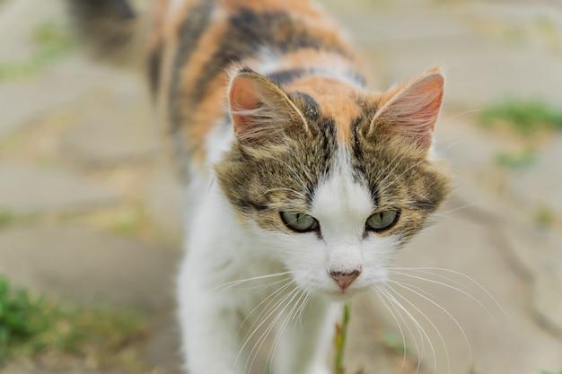 Gato colorido disperso que anda na rua no campo.