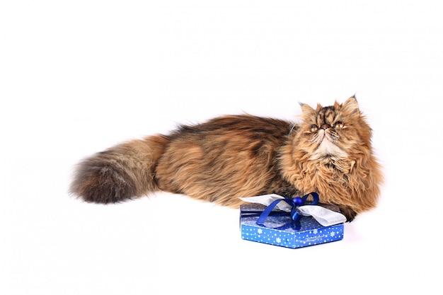 Gato com caixa de presente, isolado no fundo branco. gato persa tricolor