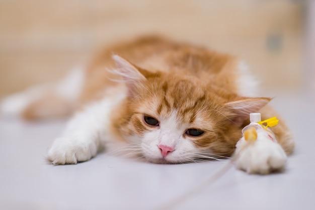 Gato com conta-gotas na mesa na clínica veterinária