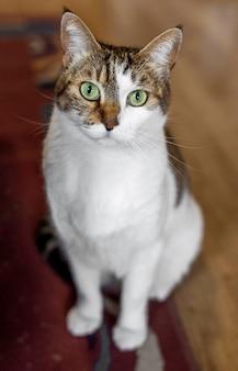 Gato com olhos verdes dentro de casa