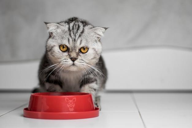 Gato comendo comida na bandeja de comida vermelha.