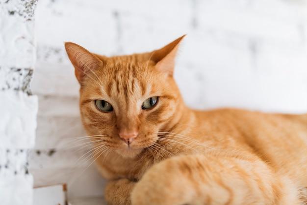 Gato comum europeu laranja olhando em frente descansando. retrato de animal