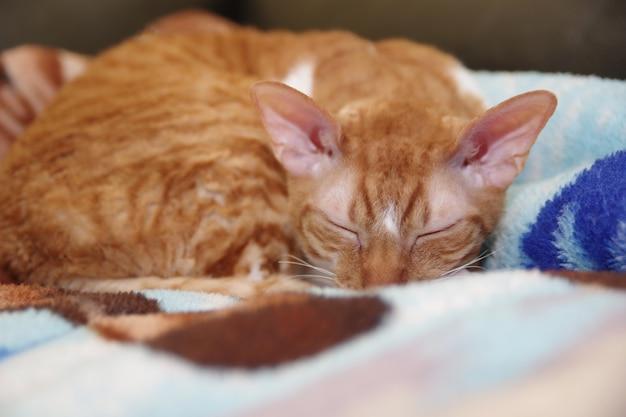 Gato cornish rex deitado em um sofá retrato de gato vermelho listrado