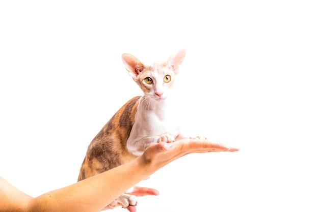 Gato cornish rex na mão da pessoa isolado sobre o fundo branco