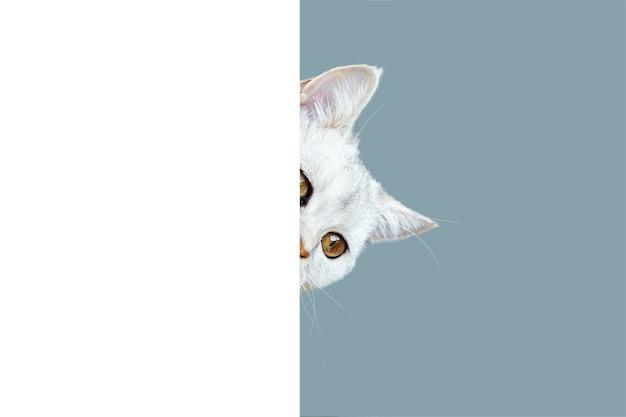 Gato curioso de pêlo curto britânico espiando por trás de um fundo branco isolado em um azul claro