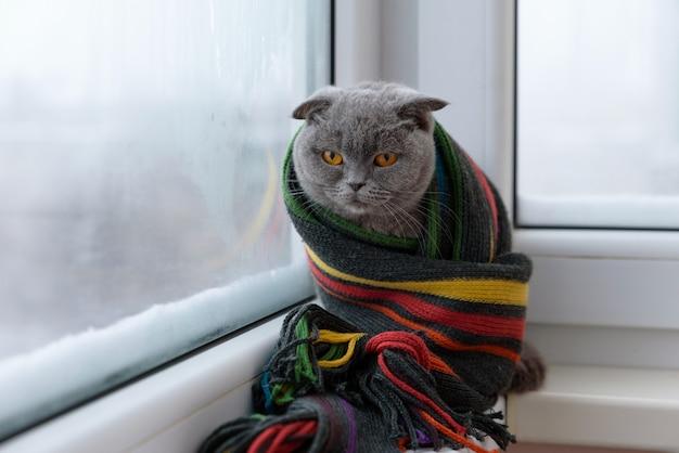 Gato da raça britânica escocesa, embrulhado em um cachecol quente, olhando pela janela para a neve