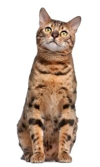 Gato de bengala, 1 ano de idade,