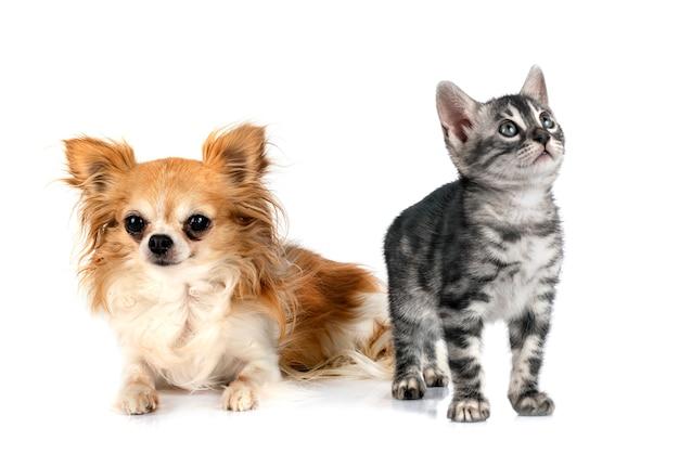 Gato de bengala e chihuahua em frente ao fundo branco