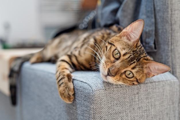 Gato de bengala encontra-se no sofá