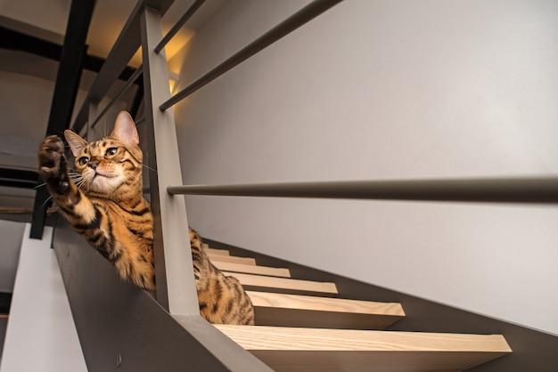 Gato de bengala está se preparando para pular na caça. um retrato do animal