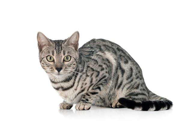 Gato de bengala isolado