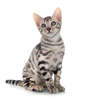 Gato de bengala na frente de um fundo branco