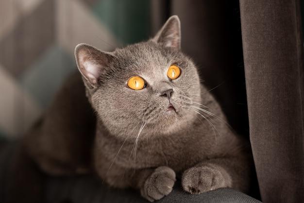 Gato de cabelo curto britânico bonito com olhos de cobre