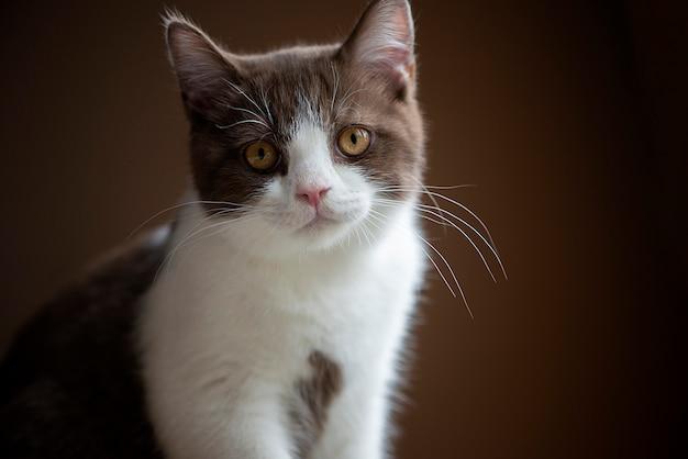 Gato de cabelo curto britânico com olhos amarelos brilhantes, isolado na parede marrom