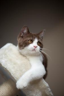 Gato de cabelo curto britânico com olhos amarelos brilhantes, olhando para cima isolado na parede cinza