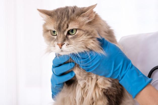Gato de cabelos compridos nas mãos do médico veterinário