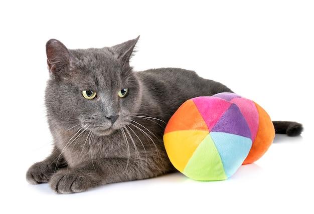 Gato de chartreux em estúdio