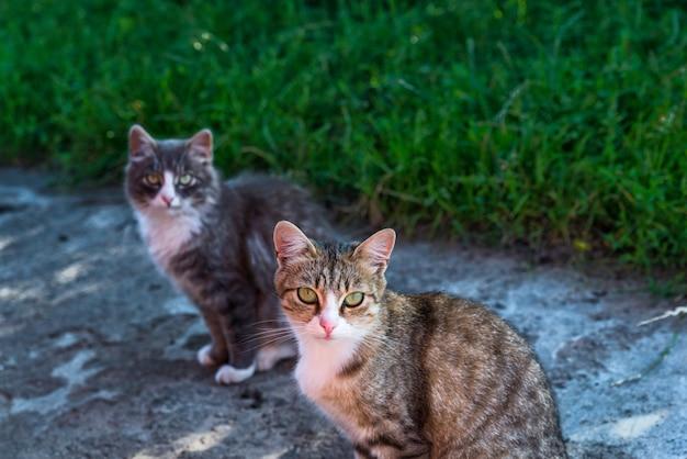 Gato de duas aldeias se aquecendo ao sol do verão