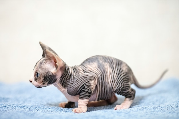 Gato de esfinge sem pêlos.
