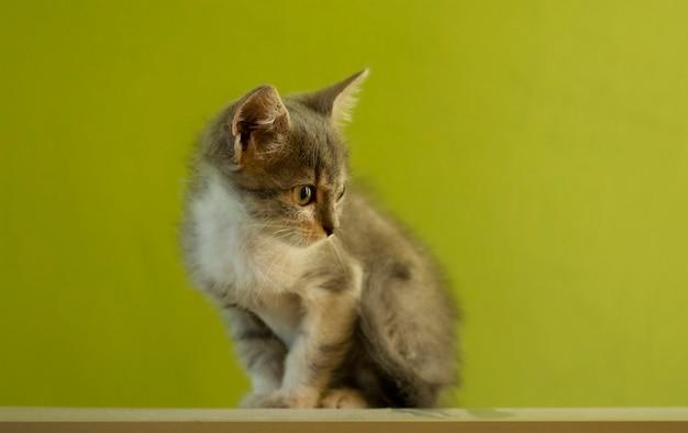 Gato de espanto cinza e branco mentindo. o conceito de animais de estimação em casa. gatinho interessado descansando em casa.