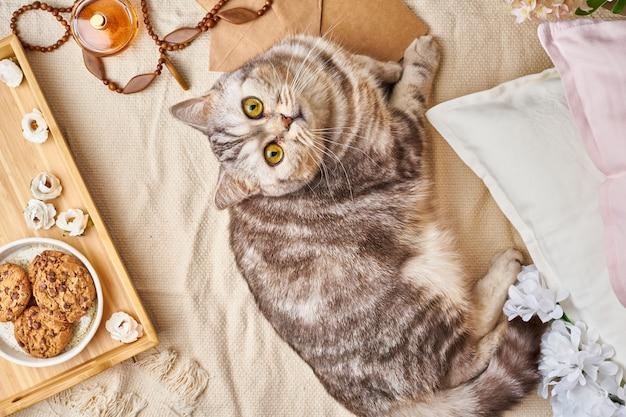Gato de gato malhado escocês que encontra-se na cama em casa. conceito de fim de semana de inverno ou outono.