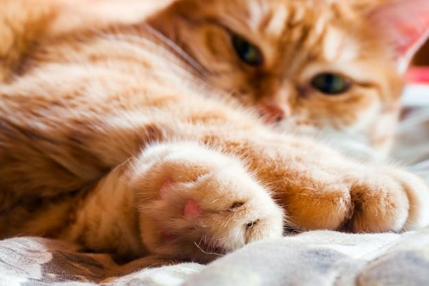 Gato de gengibre na cama em um cobertor