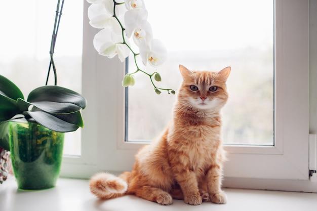 Gato de gengibre vermelho sentado no peitoril da janela, perto da orquídea