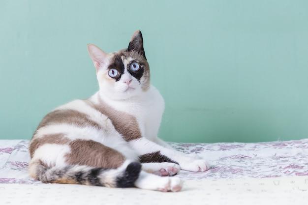 Gato de olhos azuis. gato deitado na cama. gato olha para câmera com fundo de cor verde
